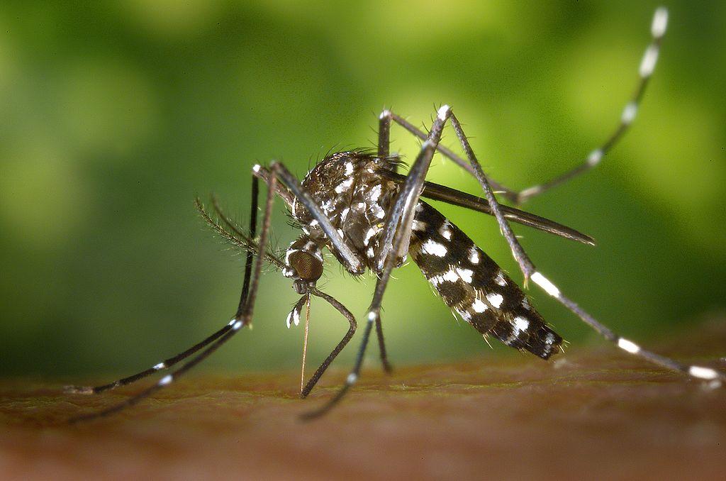Aedes albopictus, Ţânţari din România