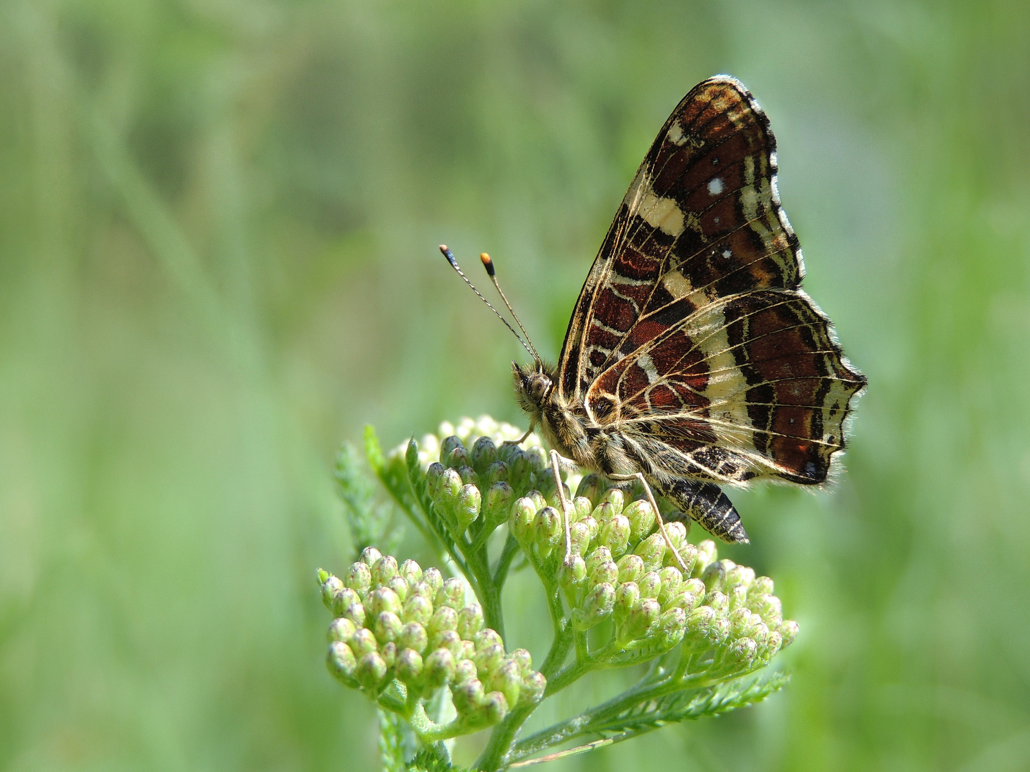(European) Map Butterfly