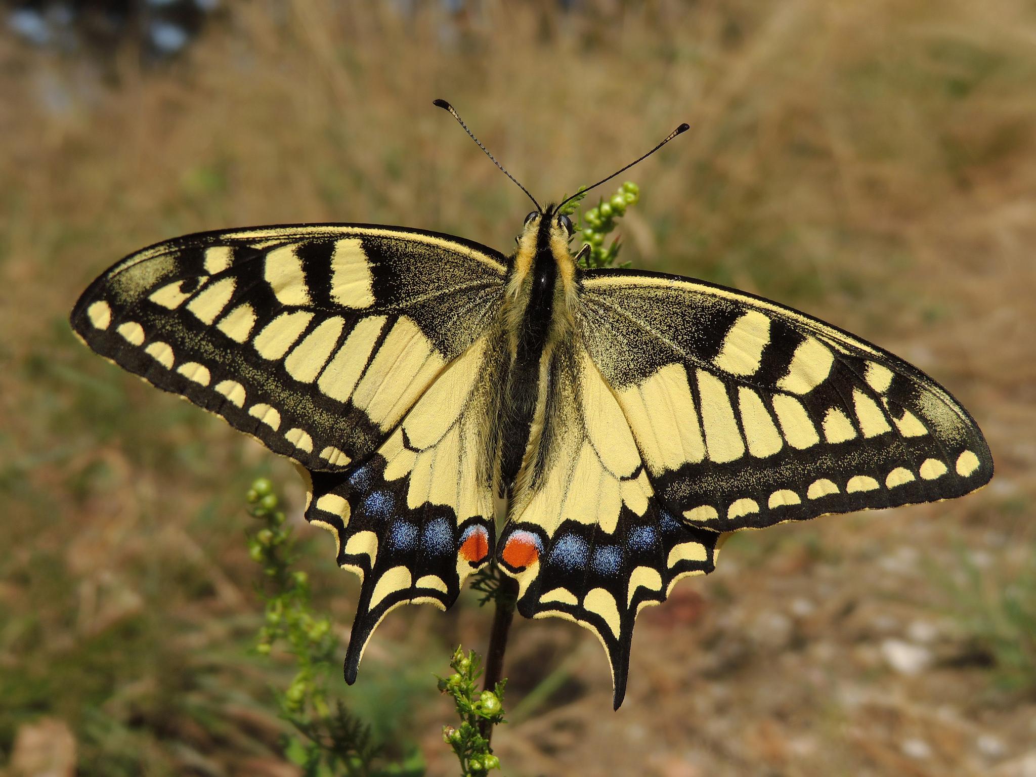 Common Yellow Swallowtail