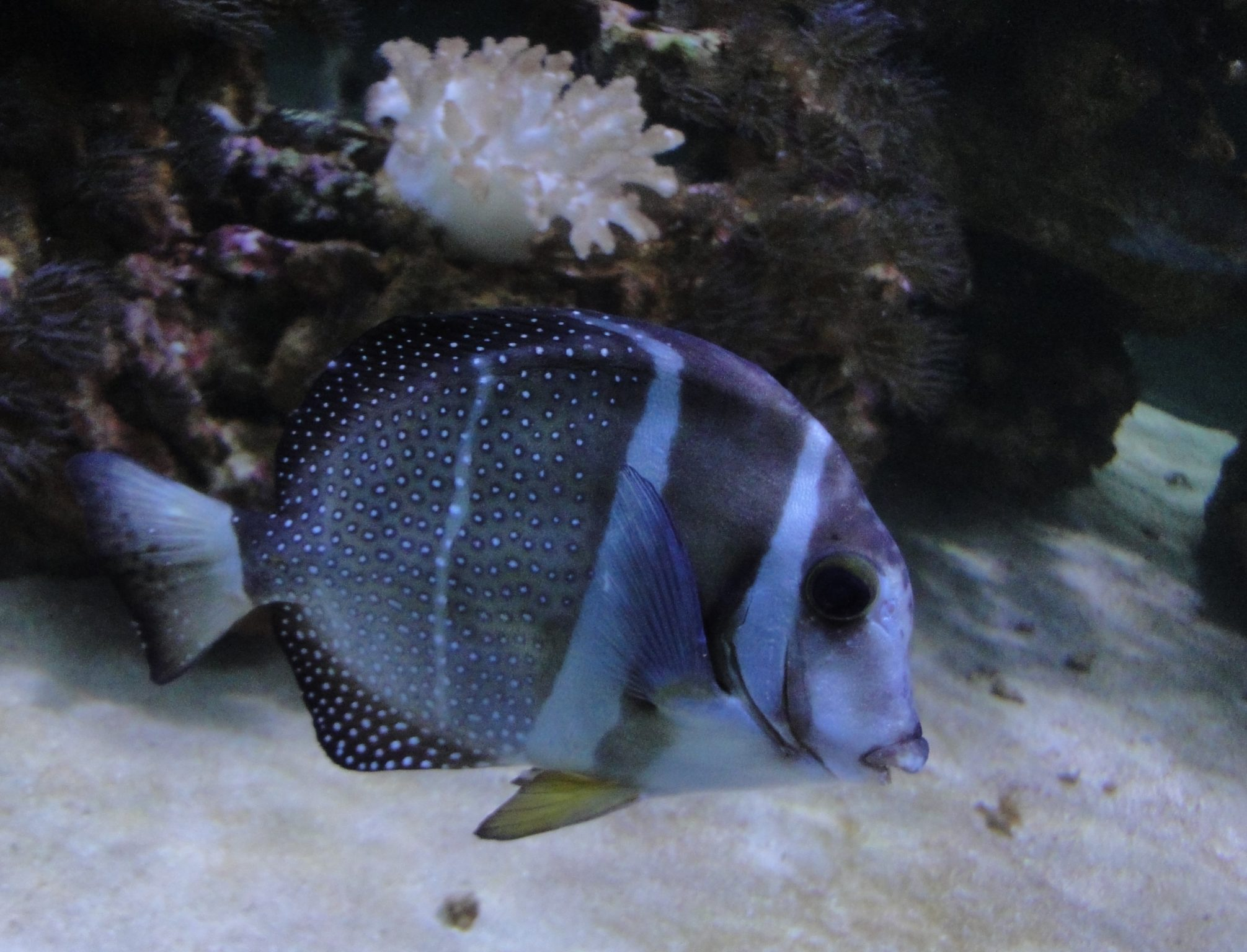 Whitespotted Surgeonfish, Mustard Surgeonfish, Mustard Tang, Spotband Surgeonfish, Spotted Surgeonfish, Spotted Tang