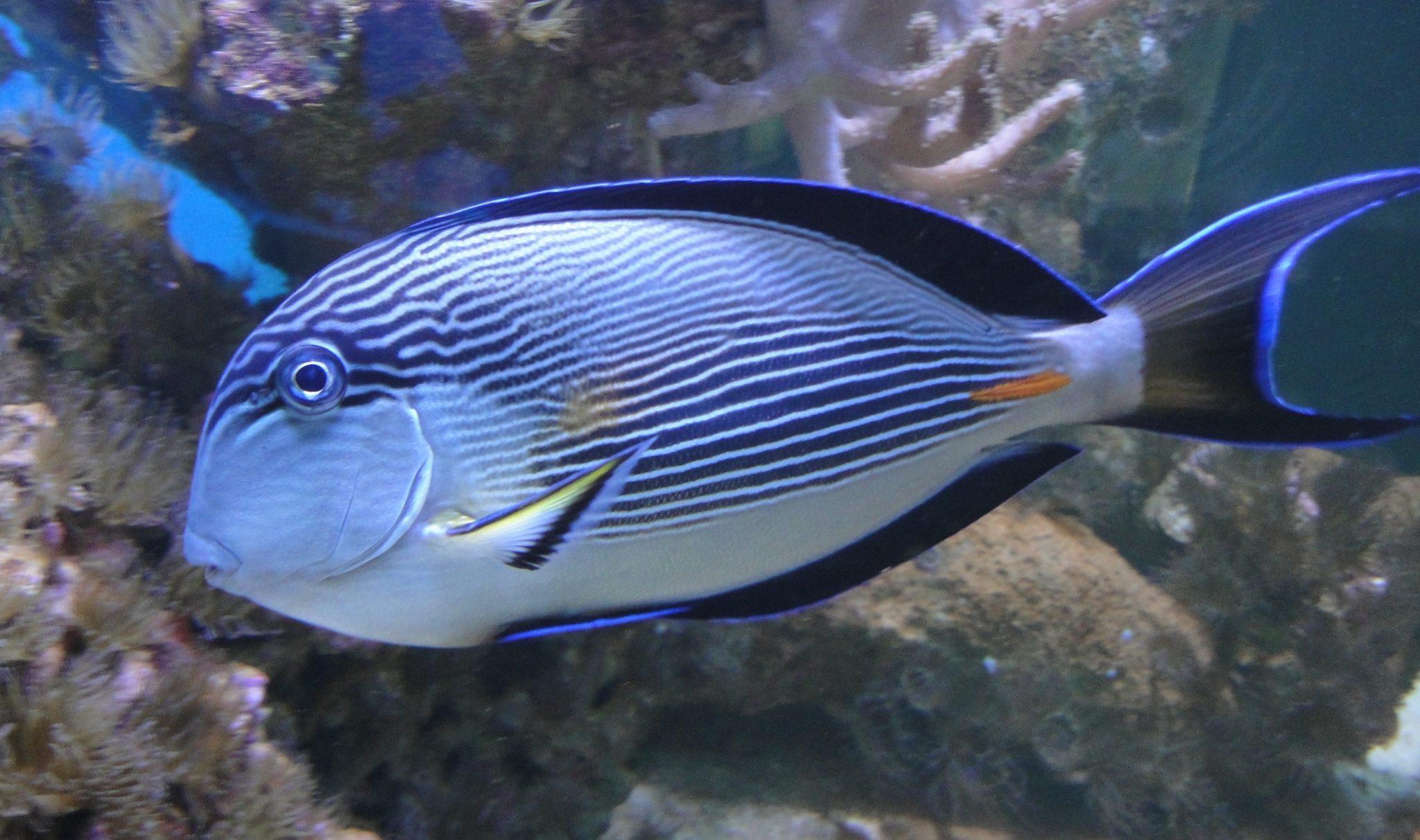 Lined Surgeonfish, Blue Banded Surgeonfish, Blue-lined Surgeonfish, Clown Surgeonfish, Striped Surgeon, Striped Surgeonfish, Zebra Surgeonfish