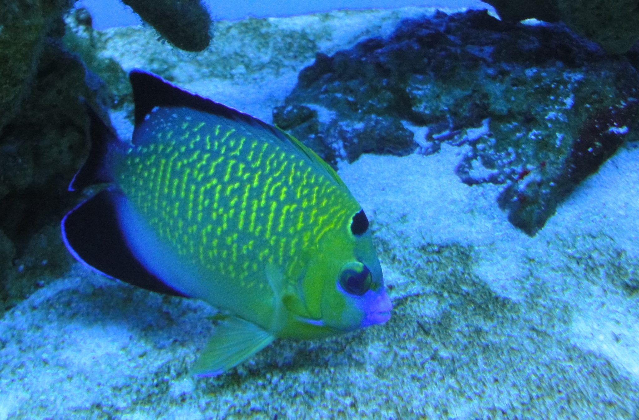 Goldspotted Angelfish, Golden Spotted Angelfish