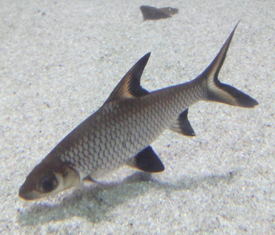 Bala Shark, Barbus melanopterus
