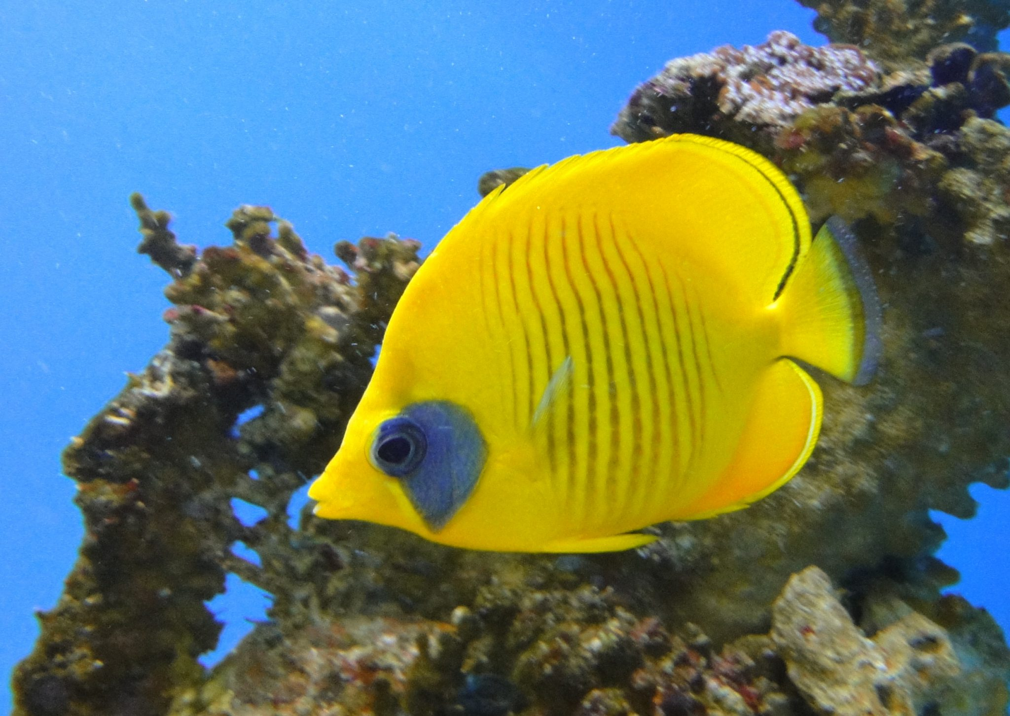 Addis Butterflyfish, Bluecheek Butterflyfish, Bluecheek Butterflyfish, Golden Butterflyfish, Redlined Butterflyfish, Yellow Butterflyfish