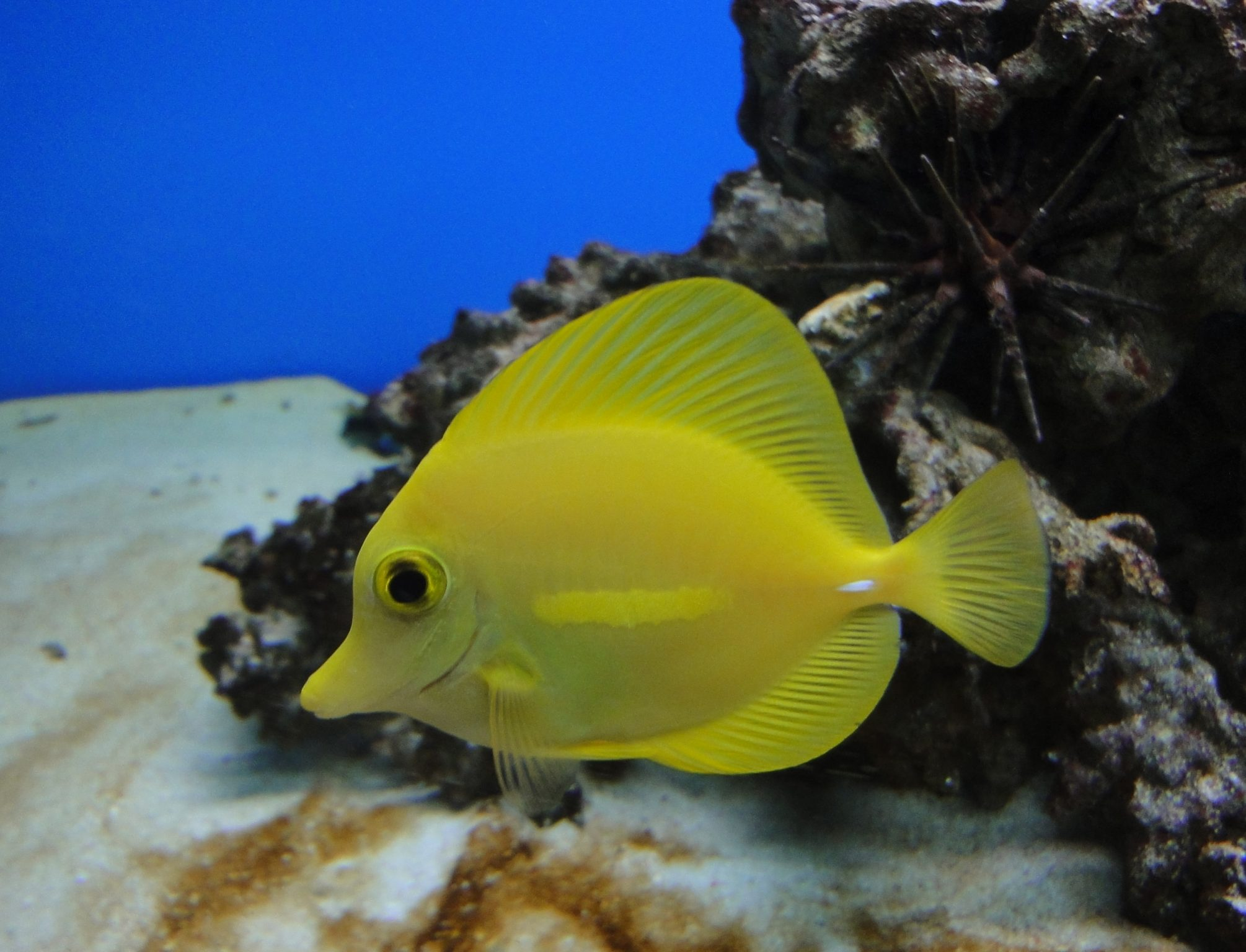 Zebrasoma flavescens, Yellow Tang, Lemon Sailfin, Somber Surgeonfish, Yellow Sailfin Tang