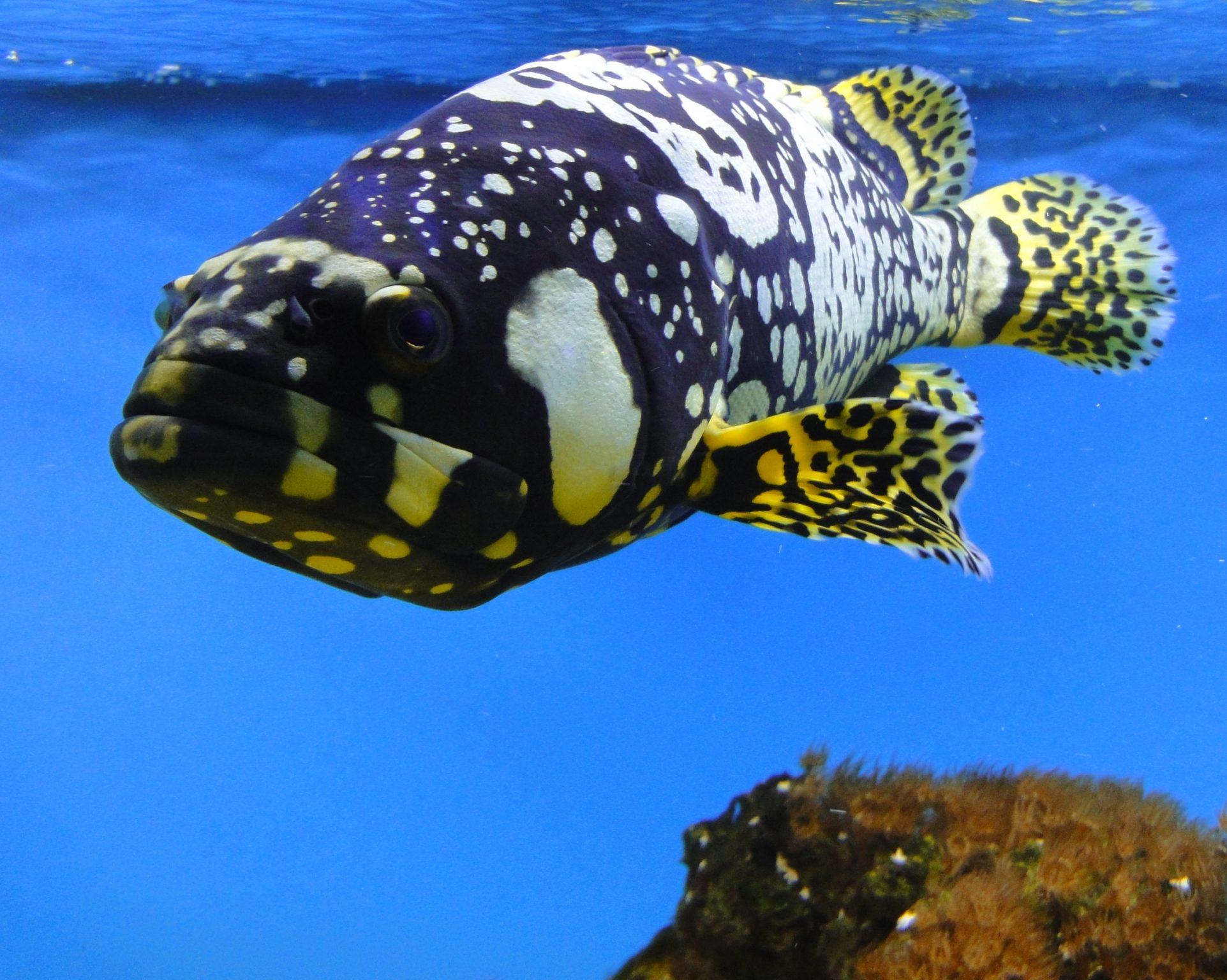 Giant Grouper, Brindle Bass, Brindled Grouper, Queensland Groper