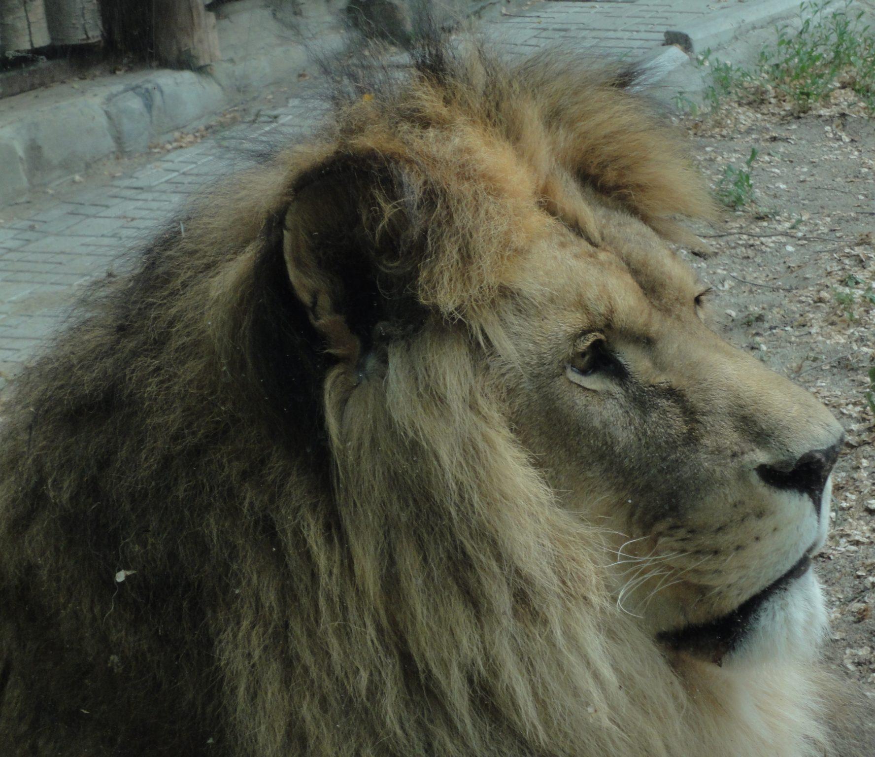 Panthera leo, African lion