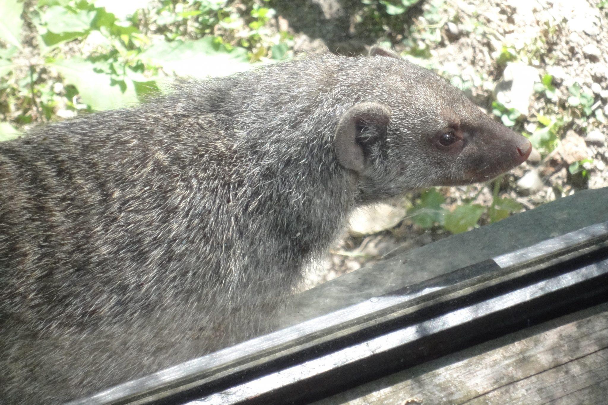 Mungos mungo, Banded Mongoose