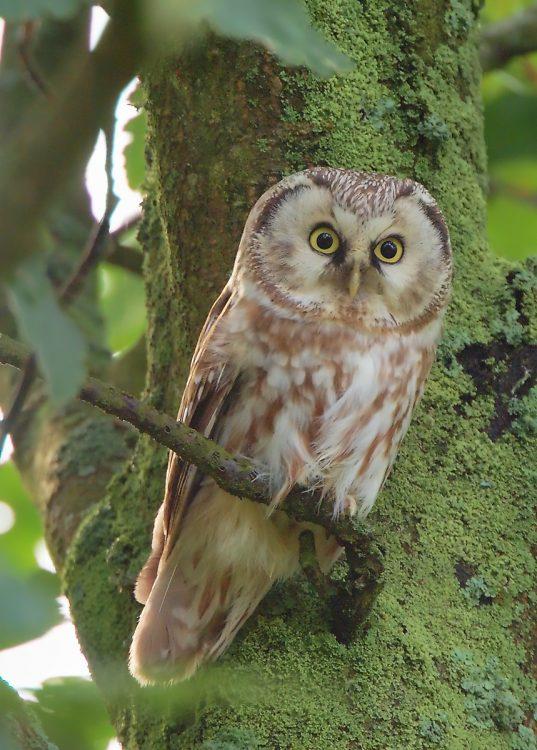 Boreal Owl, Tengmalm's Owl
