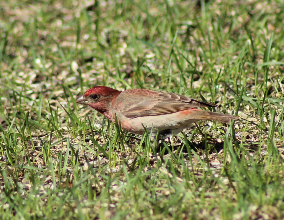 Carpodacus erythrinus, Common Rosefinch