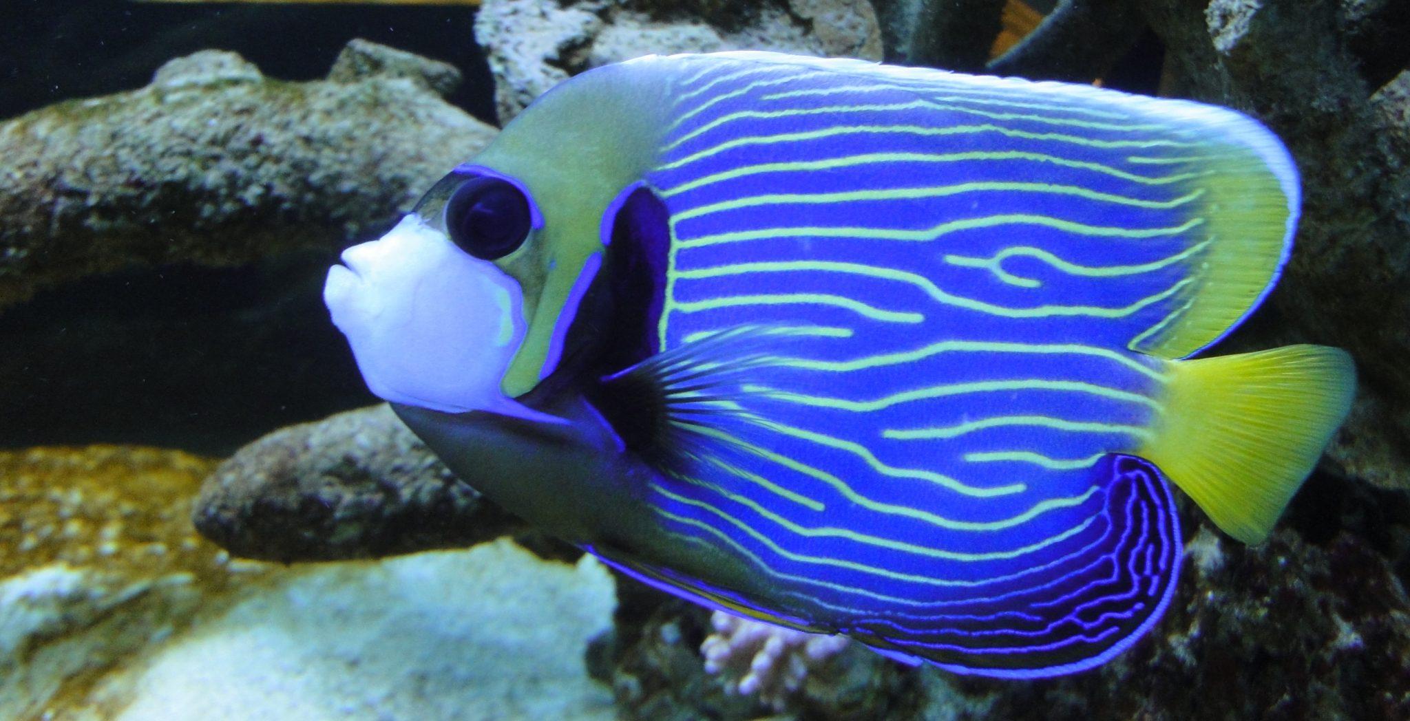 Pomacanthus imperator, Emperor Angelfish, Angelfish, Emperor, Imperial Angelfish