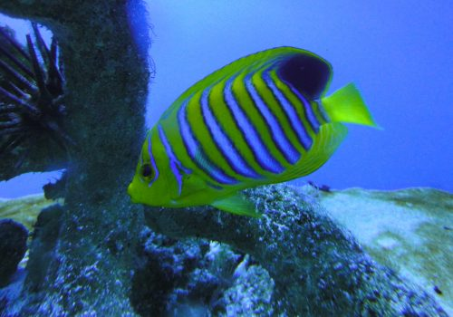 Pygoplites diacanthus, Royal Angelfish, Angelfish, Bluebanded Angelfish, Empress Angelfish, Regal Angelfish, Regal Angelfish pasific, Royal Empress Angel, Royal Empress Angelfish