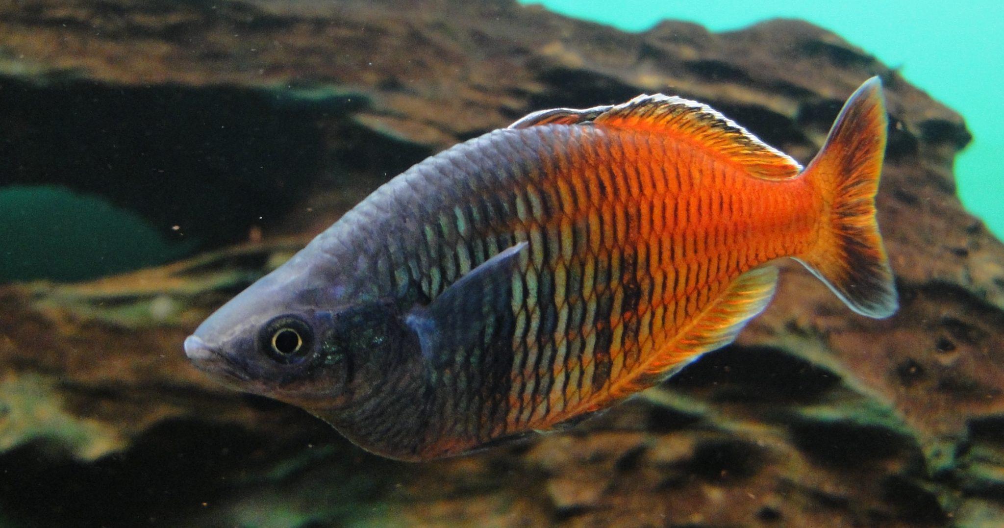 Melanotaenia boesemani, Boeseman's rainbowfish