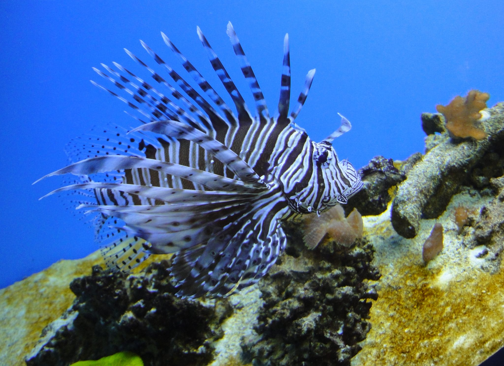 Pterois volitans, Red Lionfish, Common Lionfish, Featherfins, Ornate Butterfly-cod, Peacock Lionfish, Red Firefish, Scorpion-cod, Scorpion Volitans, Turkeyfish, Zebrafish