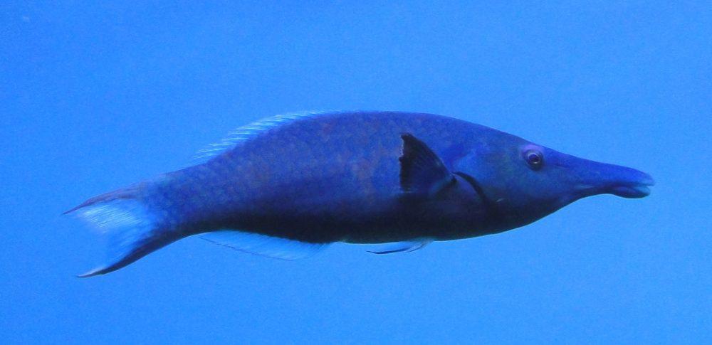 Gomphosus caeruleus, Birdfish, Bird wrasse, Blue green bird wrasse, Checkerboard wrasse, Green birdmouth wrasse, Indian Ocean bird wrasse