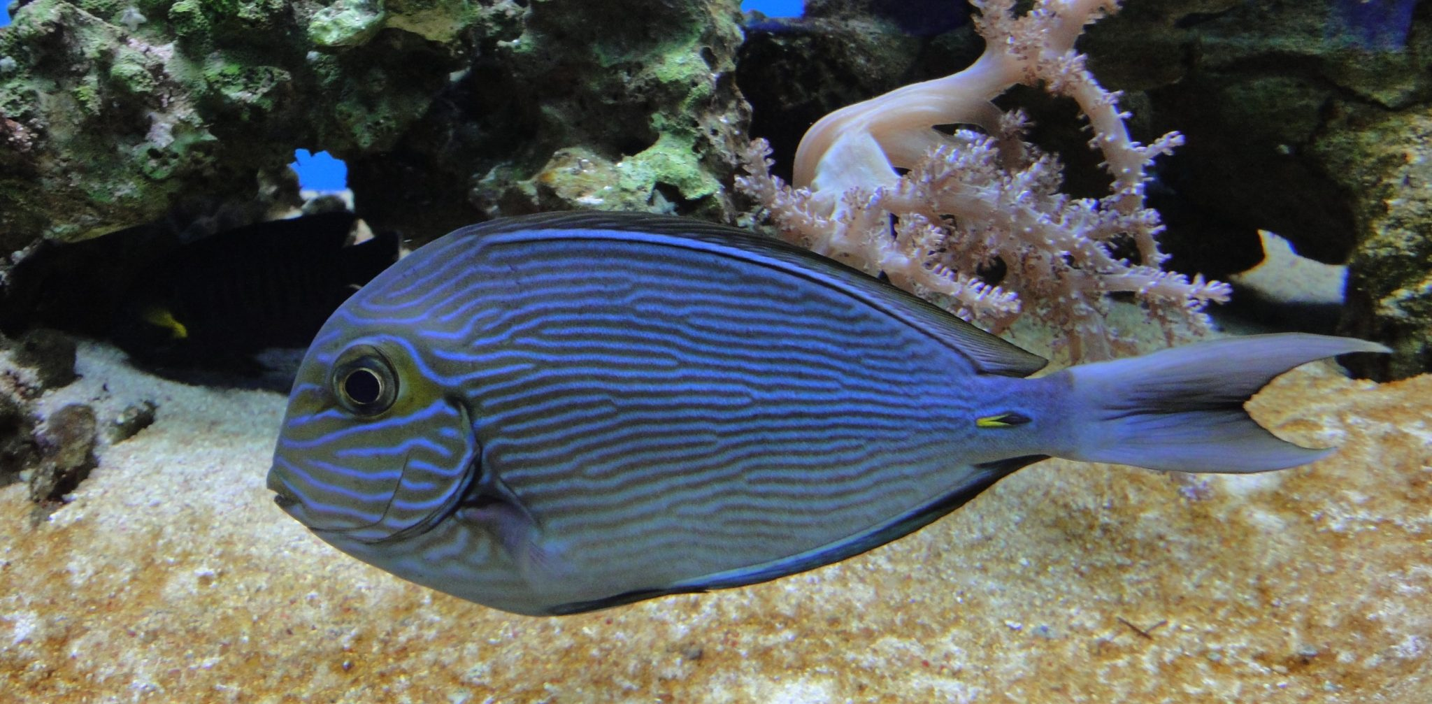 Acanthurus sohal, Sohal Surgeonfish, Red Sea Clown Surgeon, Red Sea Surgeonfish