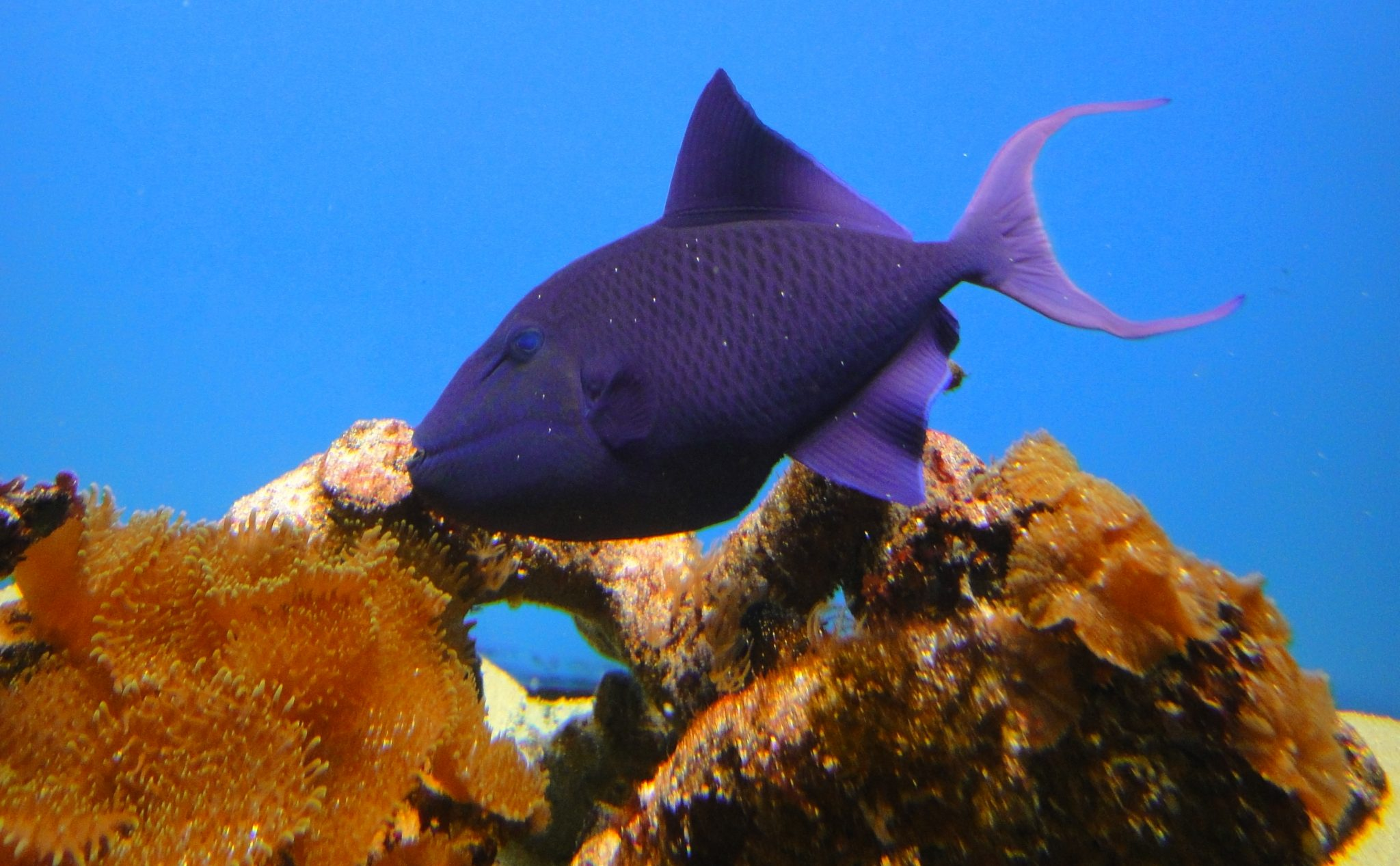 Odonus niger, Red-toothed triggerfish