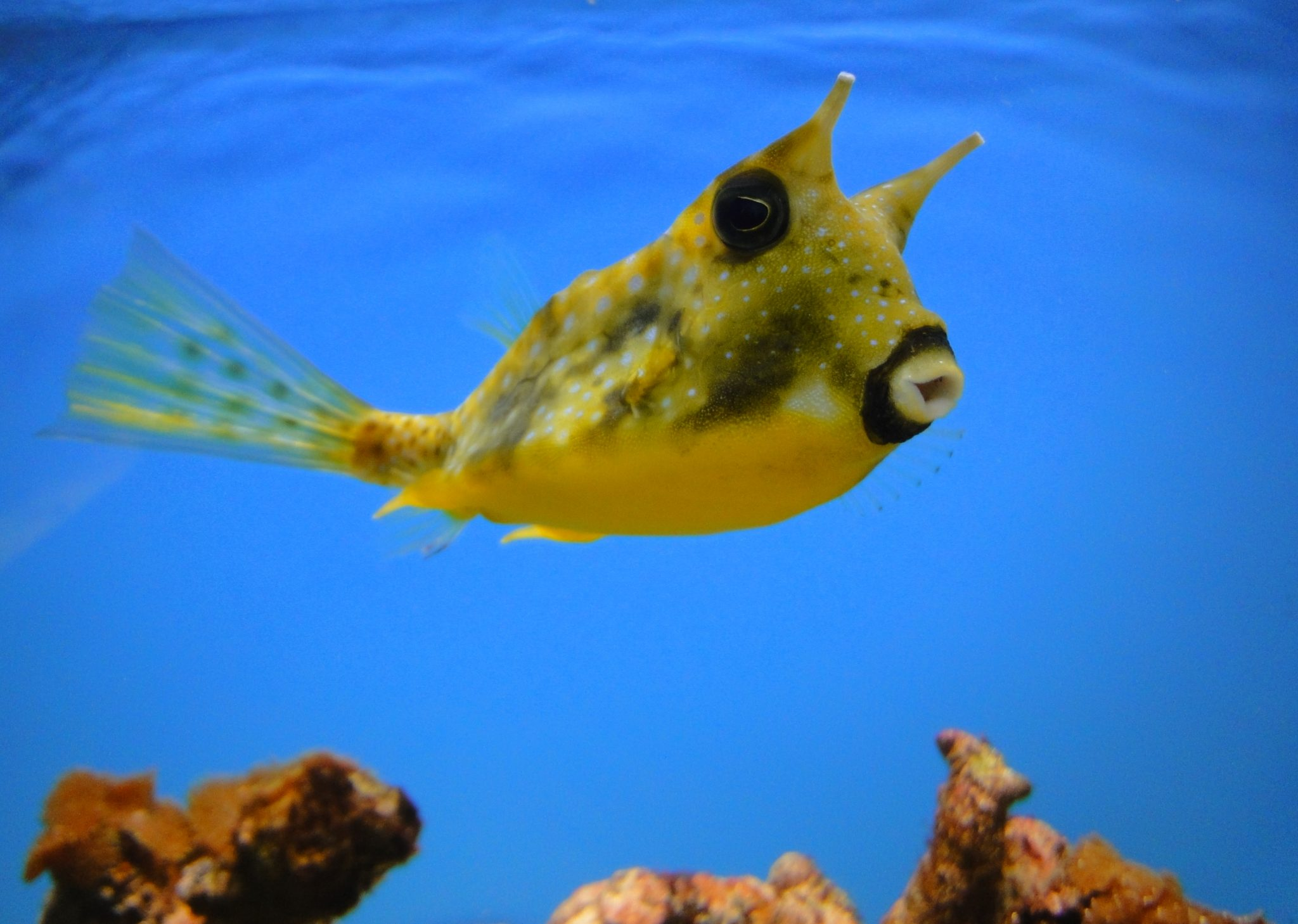 Lactoria cornuta, Long-horned cowfish