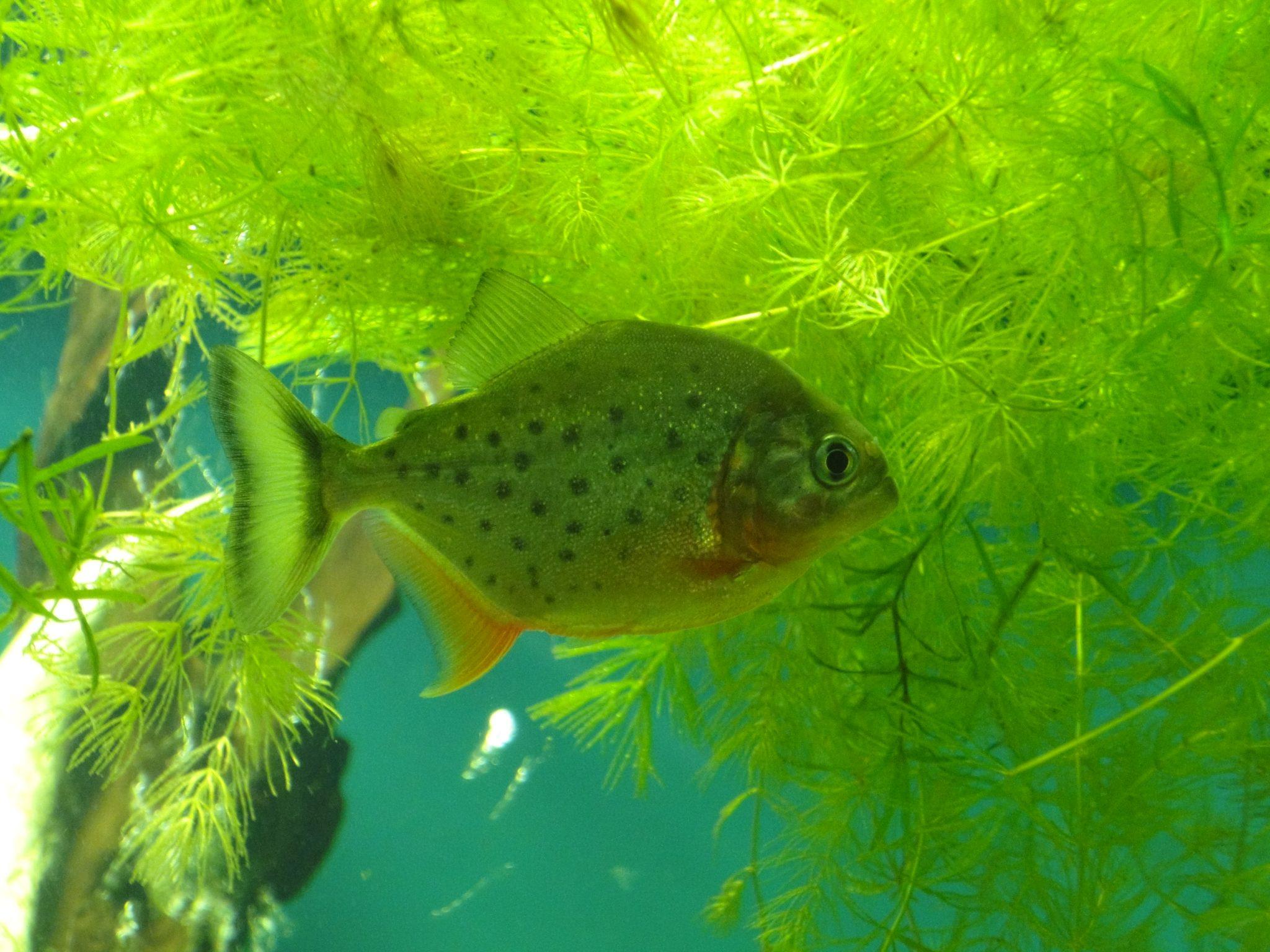 Red Bellied Piranha, Red Piranha