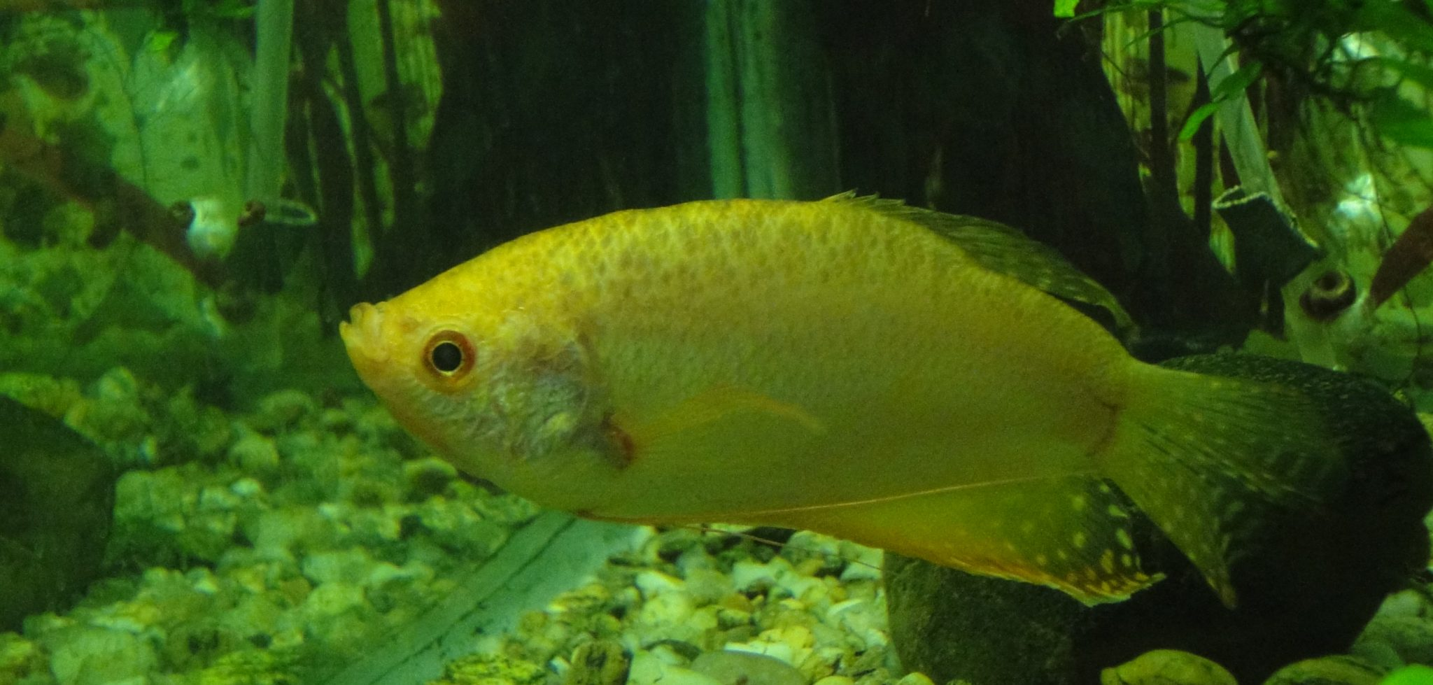 Three-spot Gourami, Labrus trichopterus, Osphromenus siamensis, Stethochaetus biguttatus, Trichogaster trichopterus, Trichopus sepat