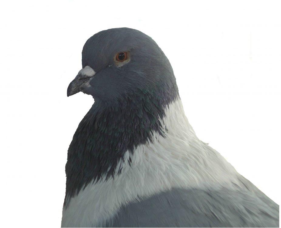 Porumbel domestic izolat pe alb