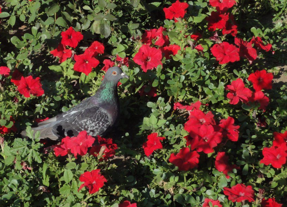 Porumbel printre petunii roşii carte poştală