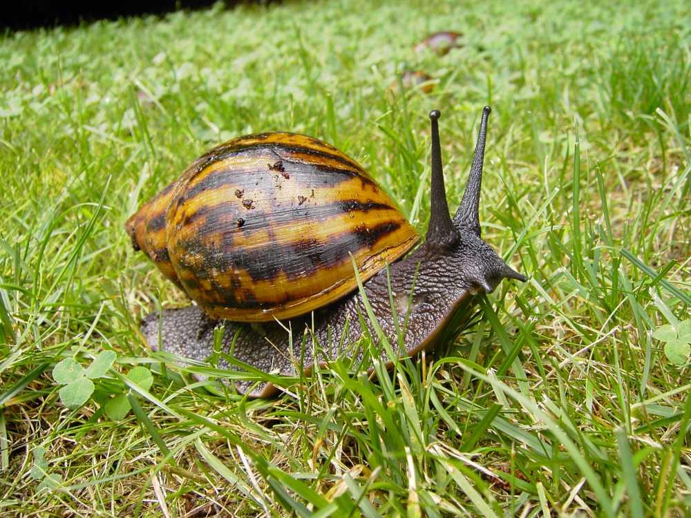 giant Ghana tiger snail