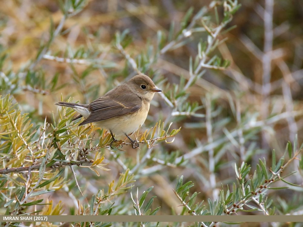 Ficedula parva, Red-breasted Flycatcher femelă
