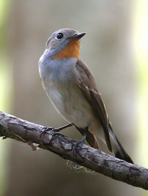 Ficedula parva, Red-throated Flycatcher mascul