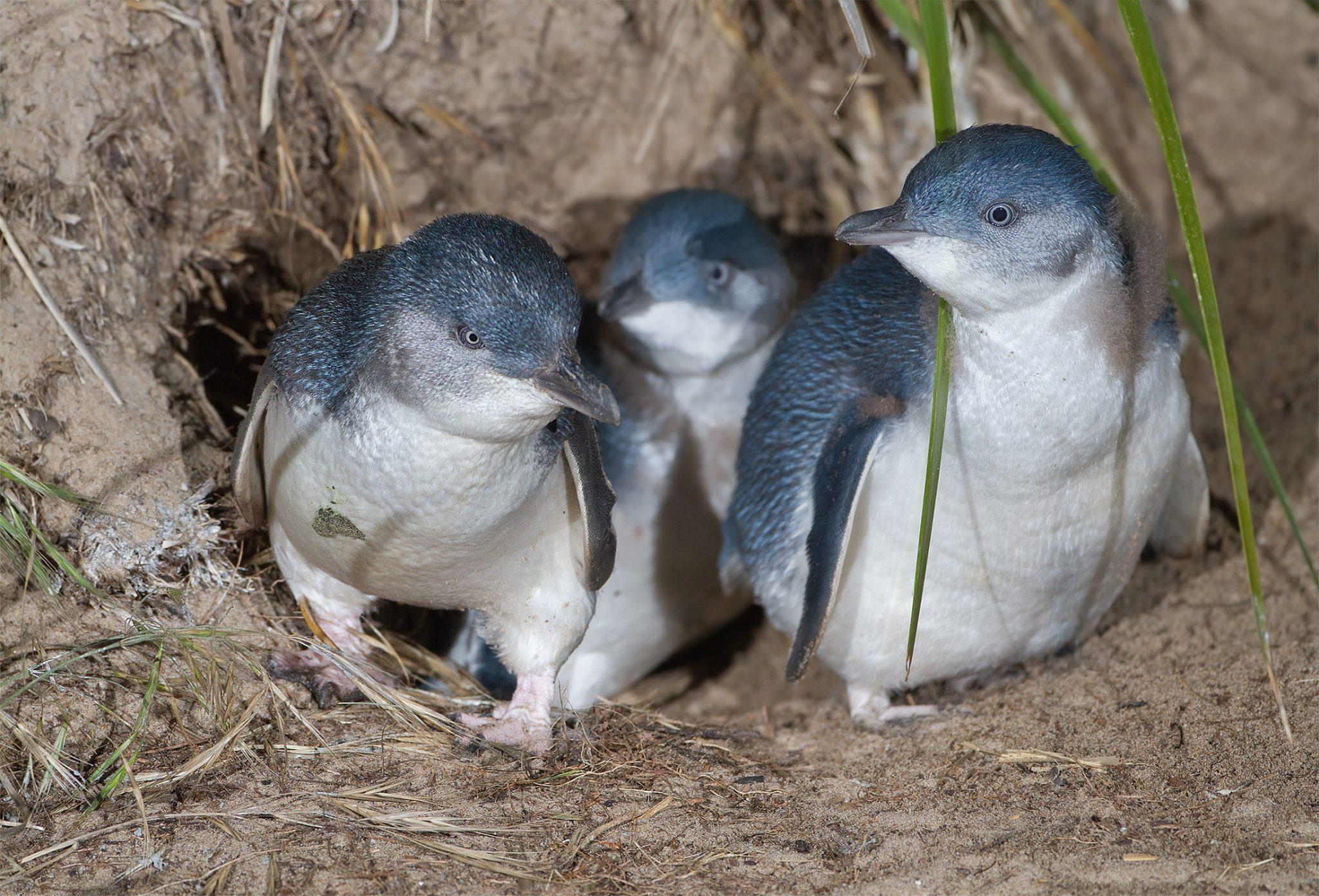 Little Penguin