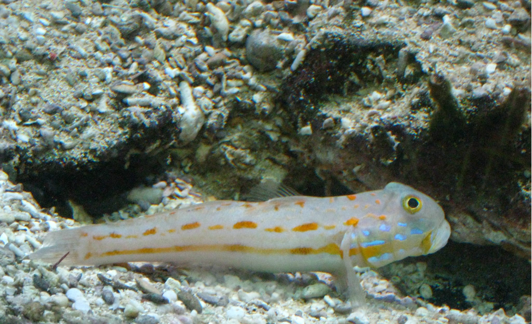 Maiden Goby, Orange-spotted Sleeper-goby, Orange-dashed Goby, Diamond Watchman Goby
