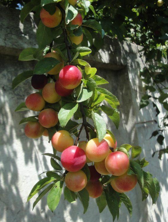 Prunus cerasifera, zarzăr