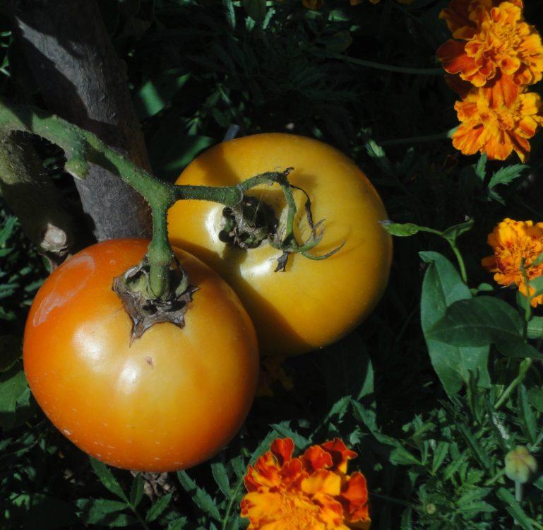 Solanum lycopersicum, tomate