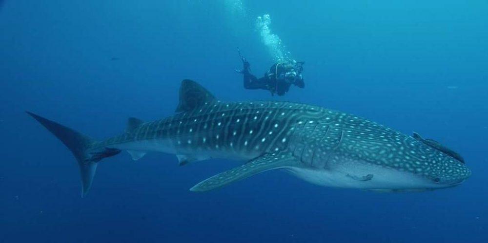 Rhincodon typus, Whale shark