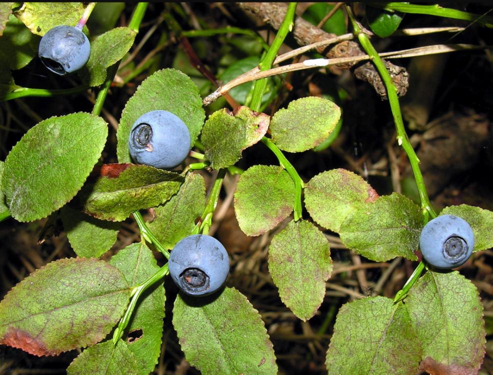 Vaccinium myrtillus vaisiai
