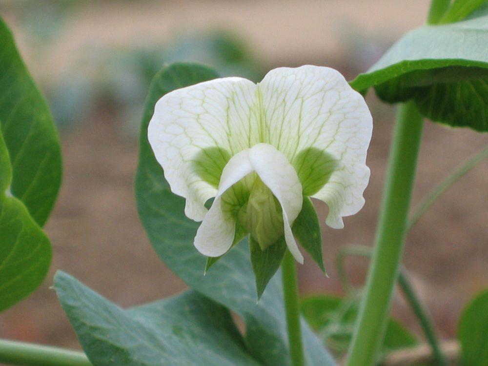 Pisum sativum varietatea macrocarpon