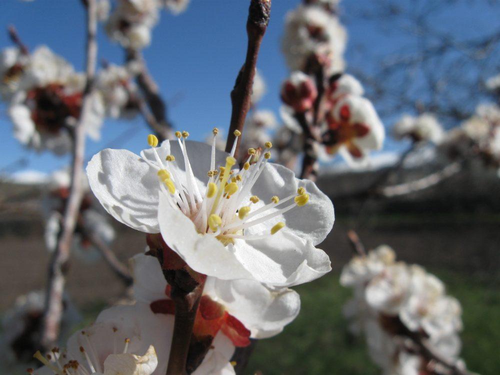 flori de Prunus armeniaca