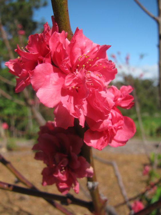 Prunus persica var. persica