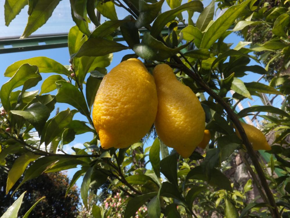 Citrus x limon Spatafora