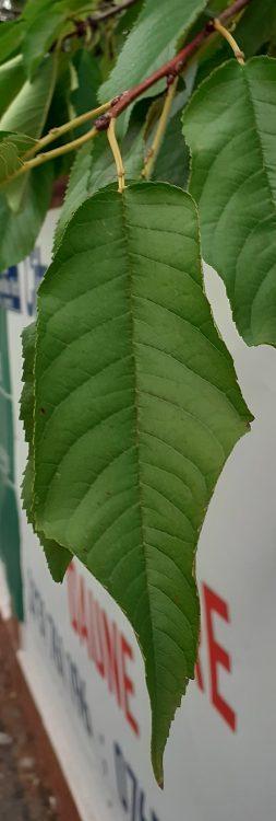 frunză de Prunus avium