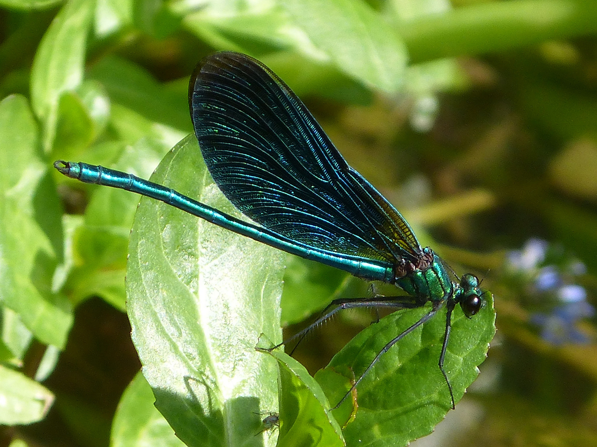 Beautiful Demoiselle mascul