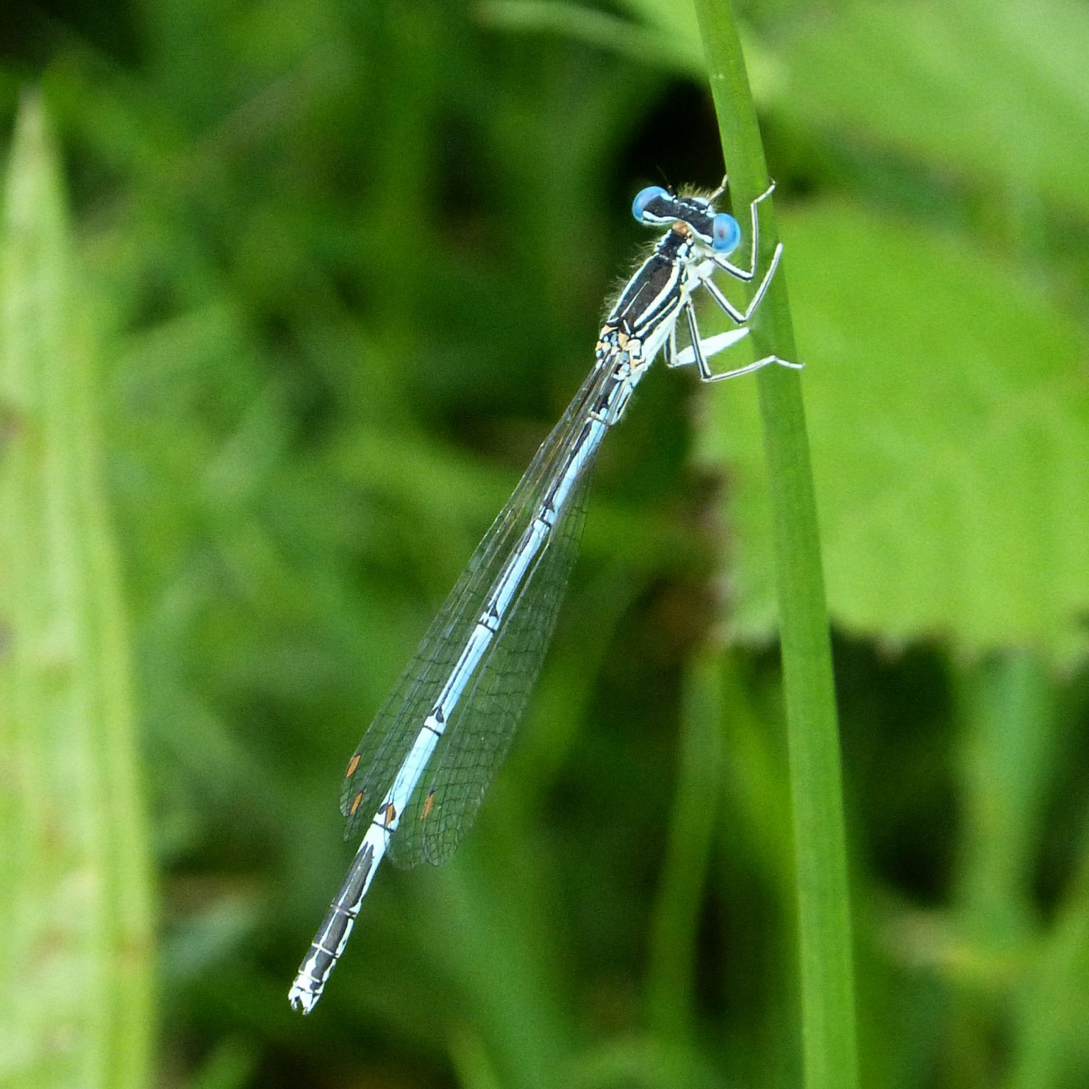 Blue Featherleg, White-legged Damselfly