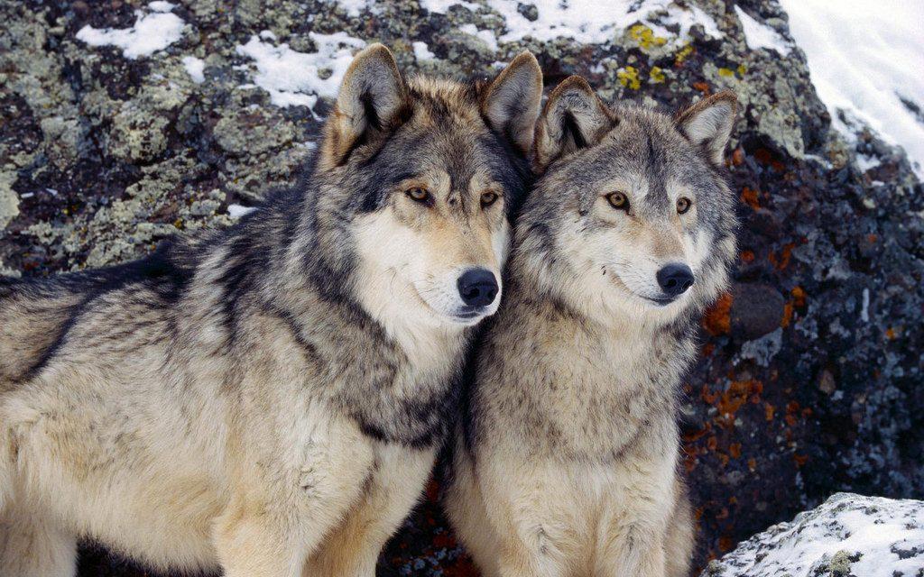 Lup şi lupoaică