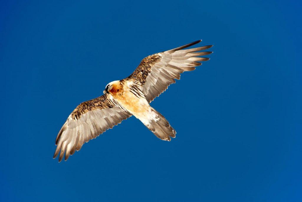 Vulturul bărbos (Gypaetus barbatus), zăgan