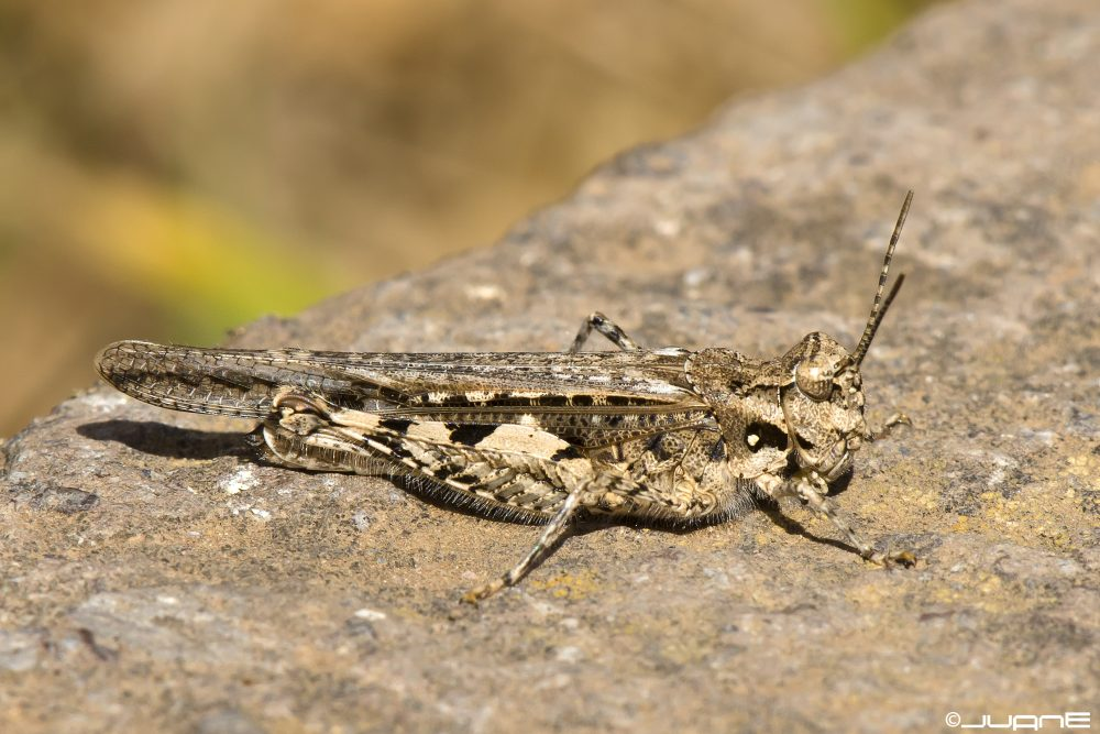 Common Digging Grasshopper