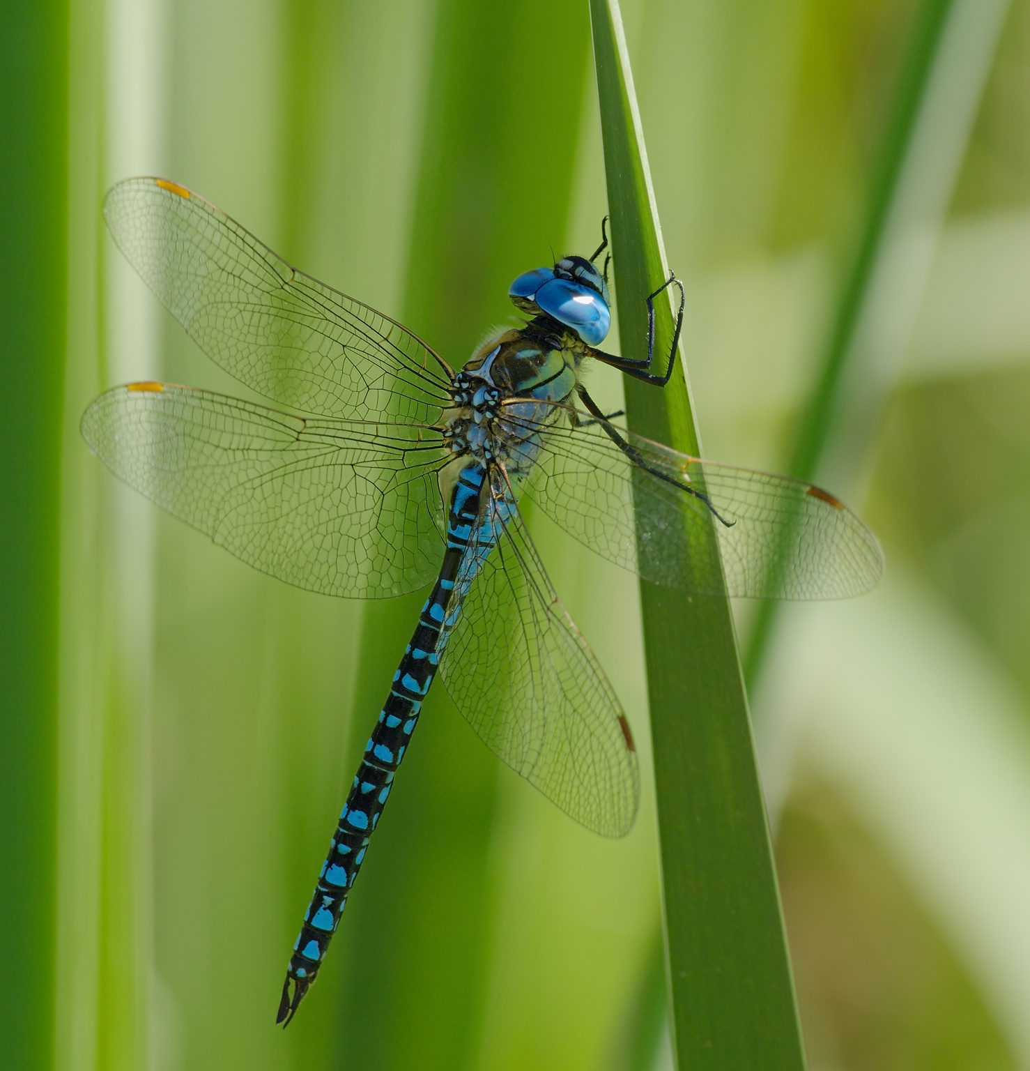 Southern Migrant Hawker, Blue-eyed Hawker