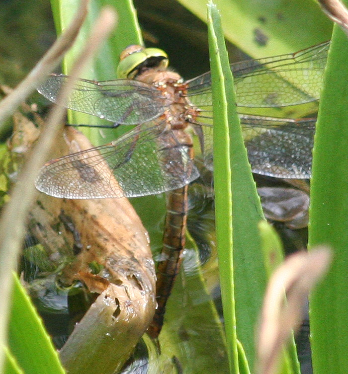 Norfolk Hawker, Green-eyed Hawker femelă