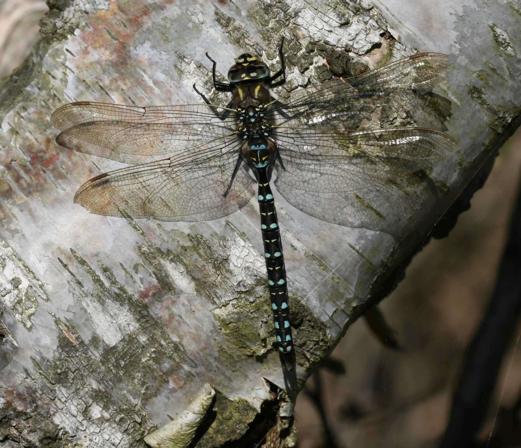 Common Hawker, Moorland Hawker, Sedge Darner