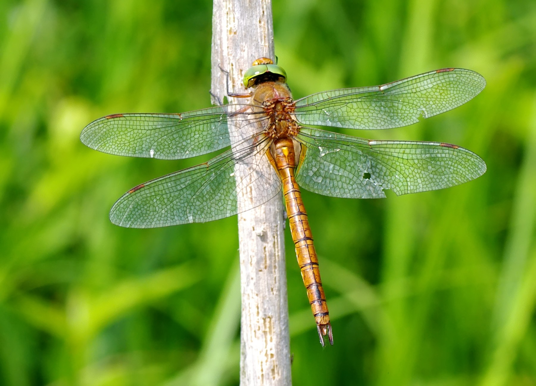Norfolk Hawker, Green-eyed Hawker