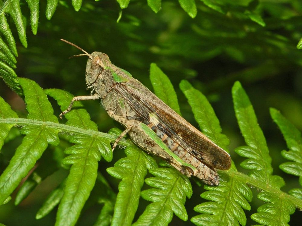 Broad Green-winged Grasshopper femelă